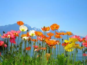 Цветы Швейцарии